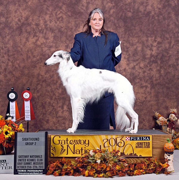 Pasha is 2013's Top Silken Windhound